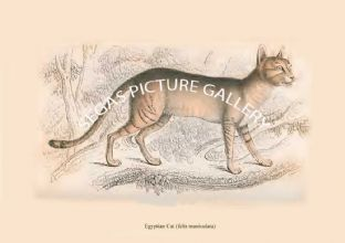 Egyptian Cat (felis maniculata)